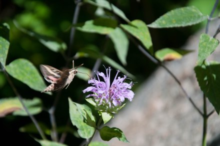 White-lined sphinx moth enjoying the garden at Starsmore Discovery Center in Colorado Springs.  Photo by Jamie Simo