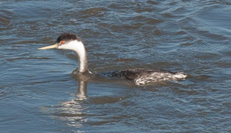 Western Grebe at Union Reservoir in Longmont, CO. Photo by Jamie Simo.